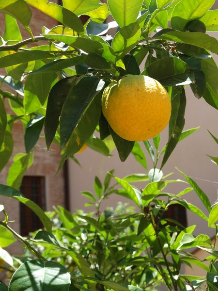 Lemon Tree in Perugia